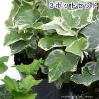 ヘデラ(アイビー)(品種おまかせ) 3号(3ポット) 北海道冬季発送不可