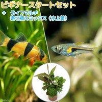 (水草)ビギナースタートセット ラスボラヘンゲリー(6匹) +クラウンローチ(2匹)