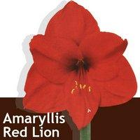 ポット植えアマリリス レッドライオン(1セット) 北海道冬季発送不可