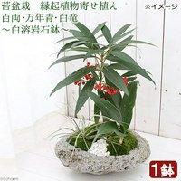 苔盆栽 縁起植物寄せ植え 百両万年青白竜 ~白溶岩石鉢~(1鉢)