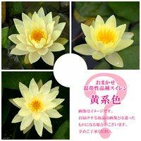 睡蓮 おまかせ温帯性品種睡蓮(スイレン) 黄系色 1種(1ポット)