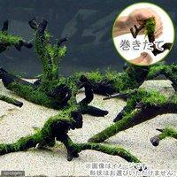 巻きたて 南米ウィローモス 枝状流木 Mサイズ(約20cm~)(無農薬)(1本)