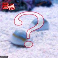 貝 (B品)タカラガイミックス(1匹)