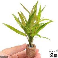 ライフマルチ(茶) ポリゴナムsp.ピンク(水上葉)(無農薬)(2個)