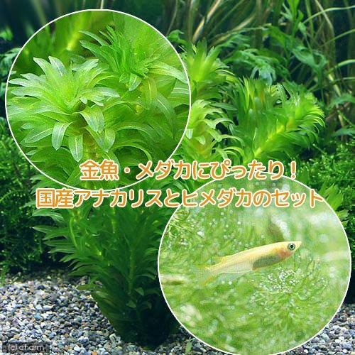 (水草)メダカ・金魚藻 国産 アナカリス(無農薬)(5本) +ヒメダカ(6匹) 北海道航空便要保温
