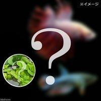 (水草)ベタクラウンテール 色指定なし(おまかせ浮き草3種セット付き)(1ペア)