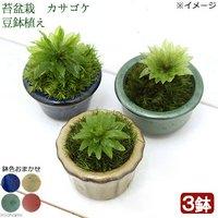 苔盆栽 オオカサゴケ 豆鉢植え(3鉢)
