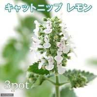 ハーブ苗 キャットニップ レモン 3号(3ポット) 猫草 家庭菜園