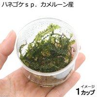 ハネゴケsp.カメルーン産 カップ(無農薬)(1個)
