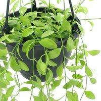 ディスキディア グリーン 吊り鉢タイプ 5号(1鉢)