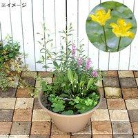 水辺植物 ビオトープレイアウトセット アサザ+水辺植物3種 あぜなみ付