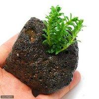 ロタラ ナンセアン(水上葉) 穴あき溶岩石付(無農薬)(1個)
