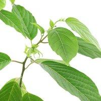 イランイランの木 6号(1鉢) 芳香性熱帯花木 北海道冬季発送不可