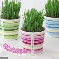 ペットグラス 燕麦 うさぎの草 直径8cmECOポット植え(無農薬)(鉢カバー付きピンク)(1セット) おやつ