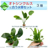 オトシンクルスに合う水草セット 3種(1セット)(説明書付)