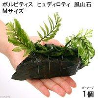 巻きたて ボルビティス ヒュディロティ 風山石 Mサイズ(約14cm)(無農薬)(1個)