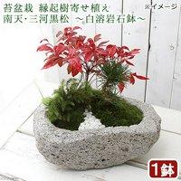 苔盆栽 縁起樹とヒノキゴケ寄せ植え 南天三河黒松 ~白溶岩石鉢~(1鉢)