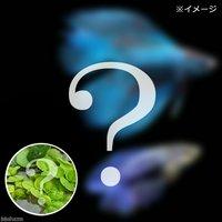 (水草)ベタダブルテール 色指定なし(おまかせ浮き草3種セット付き)(1ペア)