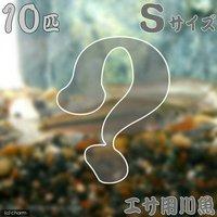 生餌 エサ用川魚 Sサイズ(10匹)