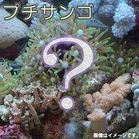 おまかせプチサンゴ(ソフトコーラル)(1個)