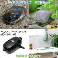 タイリクバラタナゴ ドブ貝セット 水槽 飼育用品付き