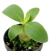 ビバリウムプランツ フィドノフィツム パプアナム コーデックス アリ植物 4cmポット入り Sサイズ(1ポット)