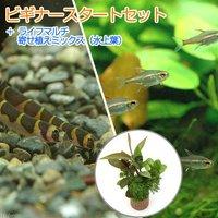 (水草)ビギナースタートセット グローライトテトラ(10匹) +クーリーローチ(3匹)