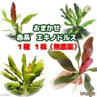 おまかせ赤系エキノドルス 1種(無農薬)(1株)