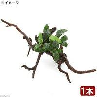 アヌビアスナナ ボンサイ(インボイス) 枝状流木付 Mサイズ(1本)(20cm~)