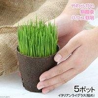 長さで選べる イタリアンライグラス 直径8cmECOポット植え(短め)(無農薬)(5ポット)