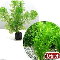 マルチリングブラック(黒) メダカ・金魚藻セット(10セット)