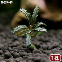 ブセファランドラsp.キャサリン(無農薬)(水中葉)(インボイス)(1株)