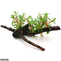 ニードルリーフ ルドウィジア 流木付 Sサイズ(水上葉)(無農薬)(1本)(約15cm)