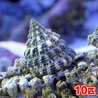 貝 ターボスネール コケの掃除(10匹)
