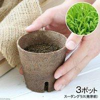 長さで選べる スーダングラス 直径8cmECOポット植え(発芽前)(無農薬)(3ポット)
