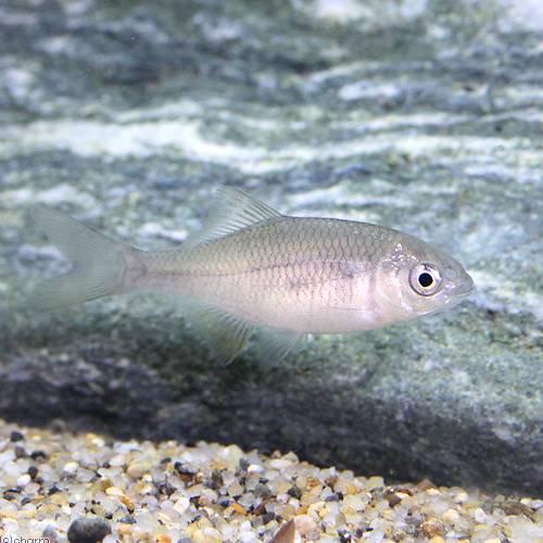 (淡水魚)カネヒラ Sサイズ(3匹)