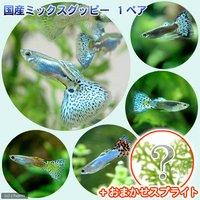 (水草)国産ミックスグッピー(1ペア)+スプライト1種(3株セット)