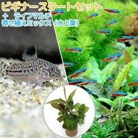 (水草)ビギナースタートセット カージナルテトラ(10匹)+コリドラストリリネアータス(1匹)