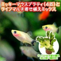 (水草)ミッキーマウスプラティ(4匹) + ライフマルチ(茶) 寄せ植えミックス(水上葉) 1個