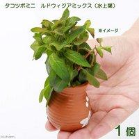 タコツボミニ ルドウィジアミックス(水上葉)(無農薬)(1個)