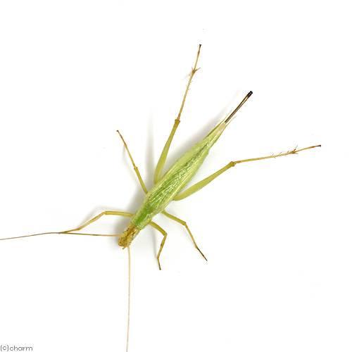 (昆虫)カンタン メス(1匹)