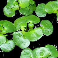 ミニホテイ草(無農薬)(3株) 金魚 メダカ