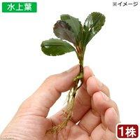 ブセファランドラsp.Hadesu Kapuas hulu産 (無農薬)(水上葉)(インボイス)(1株)