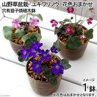盆栽 ユキワリソウ 穴有益子焼植木鉢(還元)(1鉢)