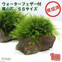 育成済 ウォーターフェザー付 風山石 SSサイズ(8cm以下)(無農薬)(1個)