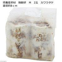 培養産卵材 微創研 M 2玉 カワラタケ 直径約8cm