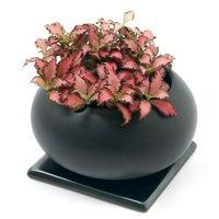 フィットニア ピンク 陶器鉢植え 空M BK(1鉢) 受け皿付き