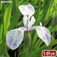 水辺植物 カキツバタ 波の音(ナミノオト)白地紫斑(1ポット) 休眠株