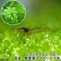 (水草)ミナミヌマエビ(5匹)+国産 無農薬アナカリス(5本)