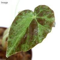 ベゴニア ブルキリ ヒマラヤ(1株)原種ベゴニア